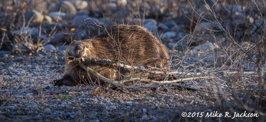 Beaver with Branches