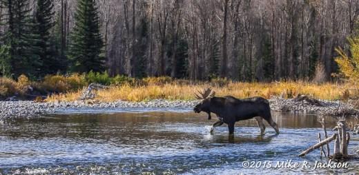 Bull Moose Crossing