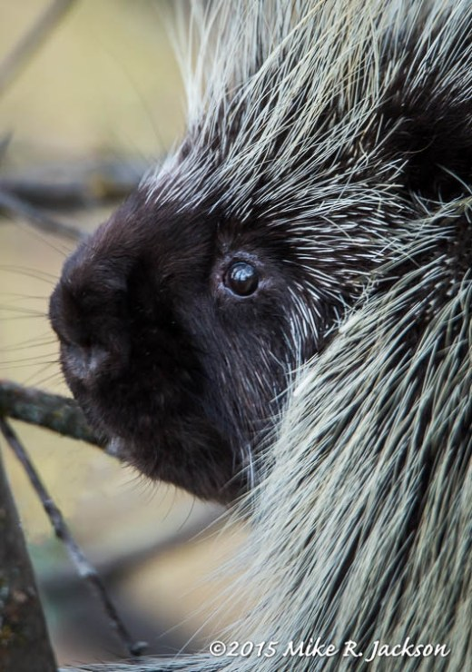 Porcupine Eye