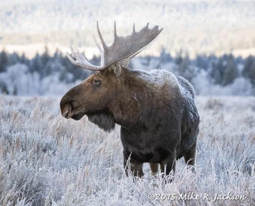Frosty Bull Moose