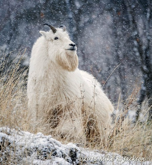 Mountain Goat and Falling Snow