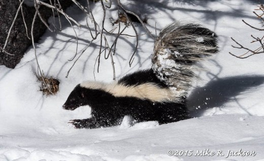 Skunk In Snow