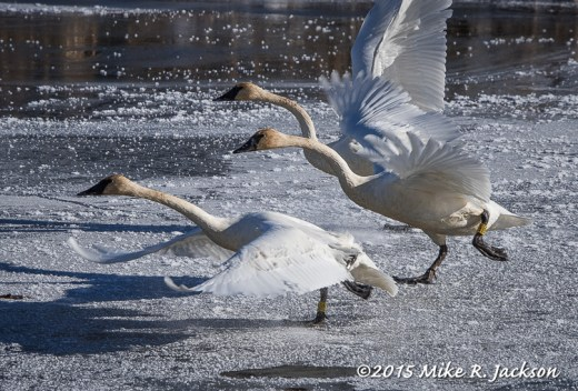 Swans Taking Off On Ice