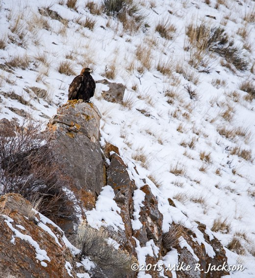 Eagle on Rock Outcropping