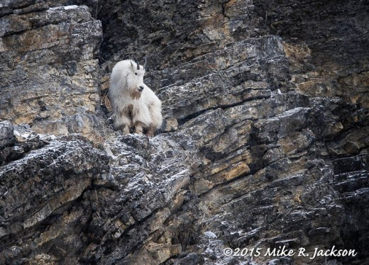 Mountain Goat on Ledge