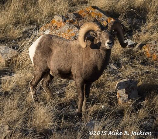 Old Bighorn Ram