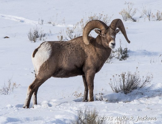 Bighorn Ram in Evening Light