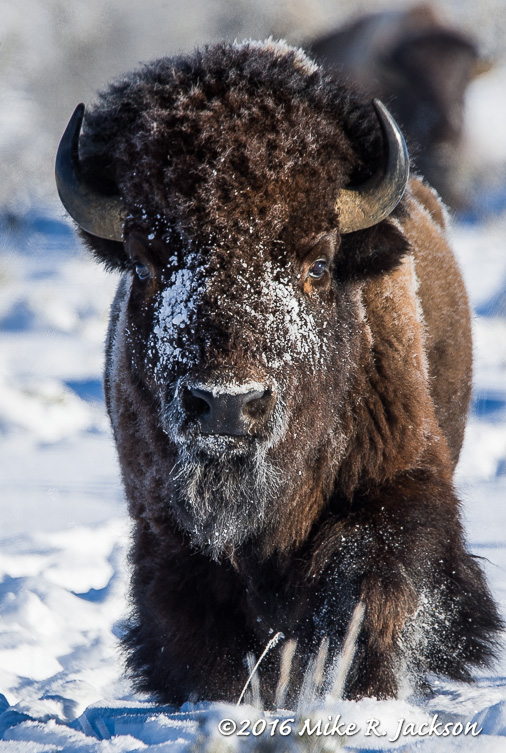 Approaching Bison: