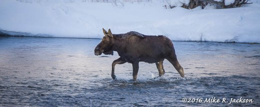 Bull Moose Crossing GV