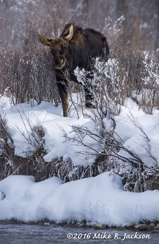 Bull Moose along GV