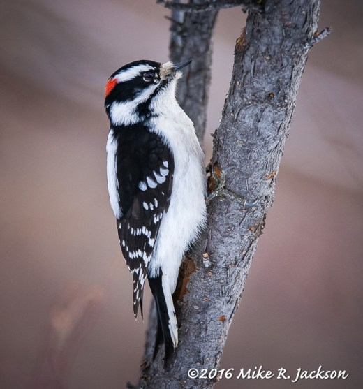 Downey Woodpecker