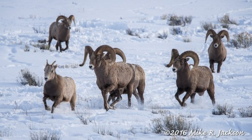 Rams in Pursuit