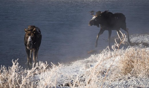 Moose in Kelly Warm Springs