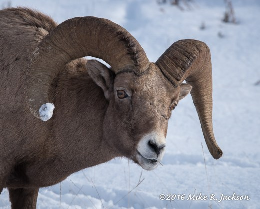 Ram with Snow