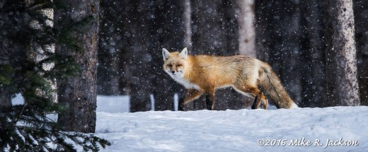 Fox with Flakes