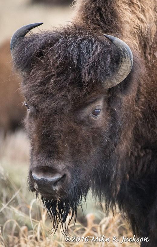 Bison Cow Portrait