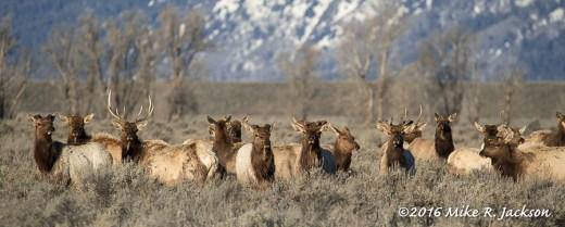 Migrating Bull Elk