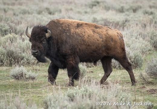 Old Bison Bull