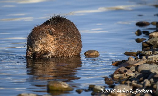Beaver at the Jackson Lake Dam