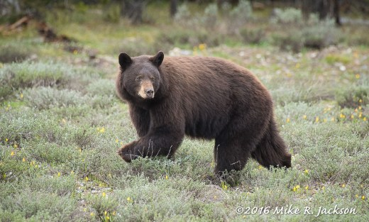 Chocolate Black Bear