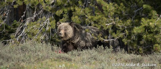 Blondie Exiting a Stand of Lodgepole Pines