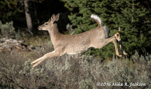 Bounding Whitetail Deer