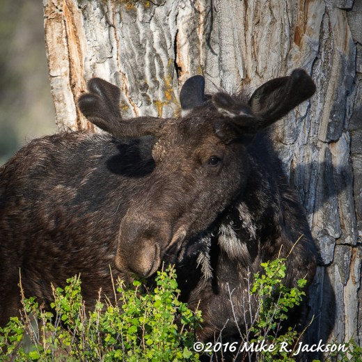Bull Moose with Early Velvet