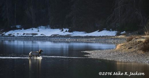 Elk Crossing the Snake River