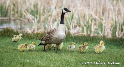Gosling Parade