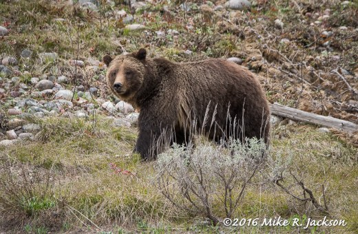 Grizzly Sow 399