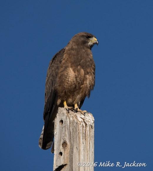 Hawk on Post