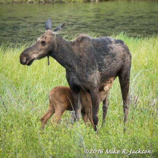 Nursing Moose