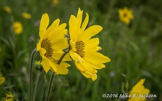 Tandem Flowers
