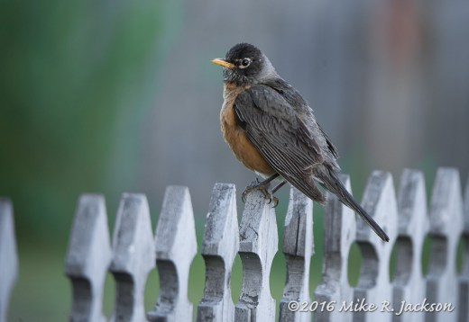Robin On Pickett Fence
