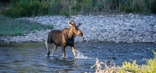 Young Bull Moose Crossing GV