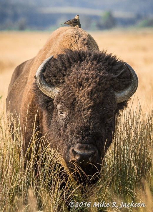 Bison Bull and Freeloading Birds