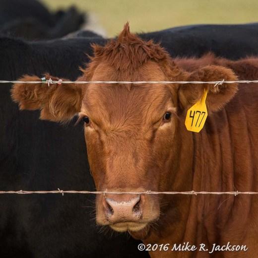 Cow 477