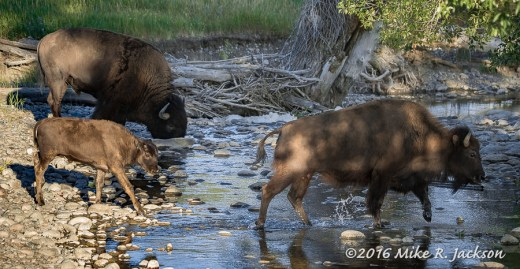 Cow and Calf Bison