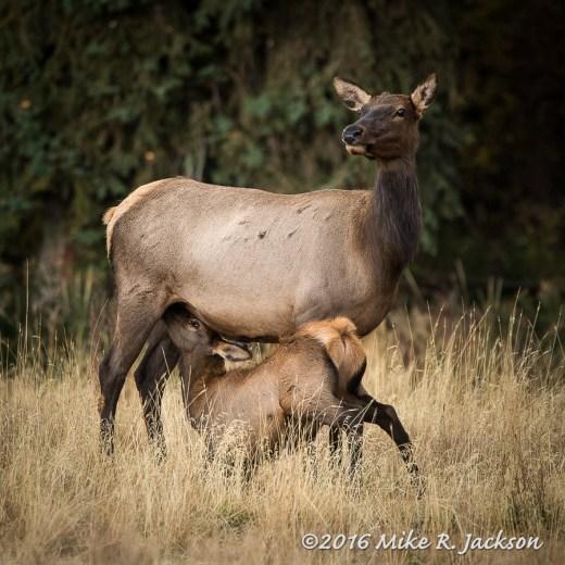 Nursing Elk