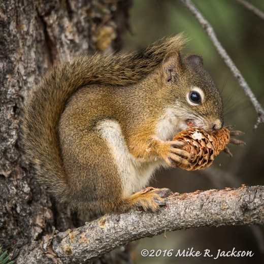 Red Squirrel and Pine Cone