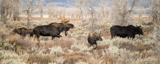 Bull Moose and Family
