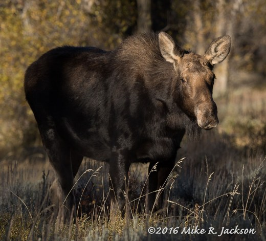 Cow Moose in Morning Light