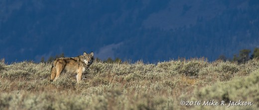 Gray Wolf in Sagebrush