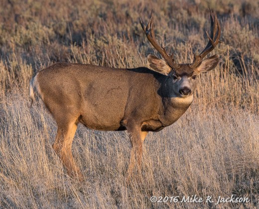 Evening Mule Deer