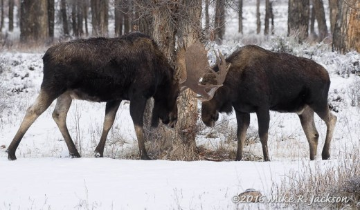 Sparring Bull Moose