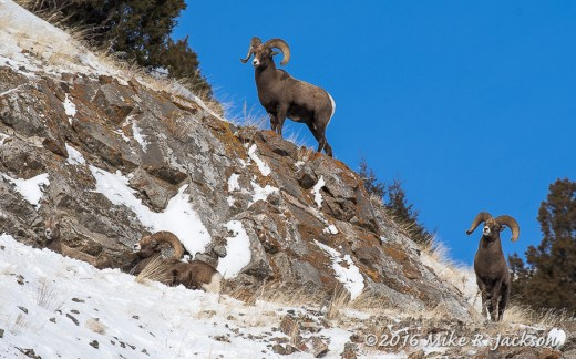 Rams on Miller Butte