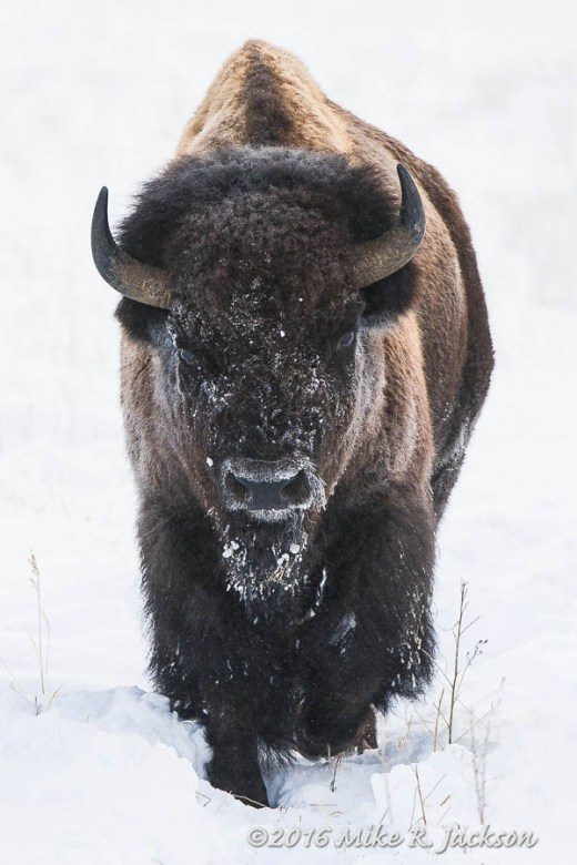 Approaching Bull Bison