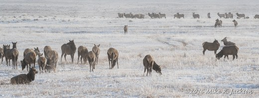 Elk on the National Elk Refuge
