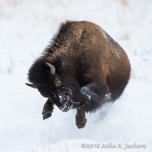 Excited Bison