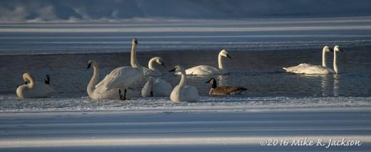 Boyle's Hill Swans
